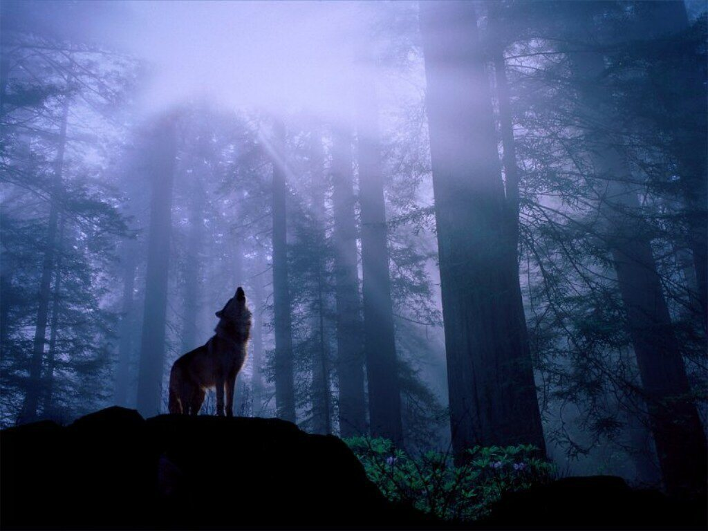 wolf howling in forest 1024